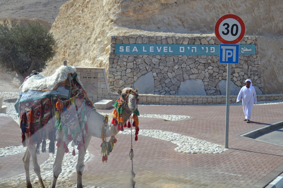Camel in Israel