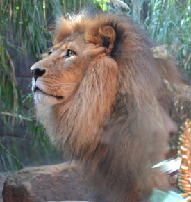 Lion at the Taronga Zoo in Sydney