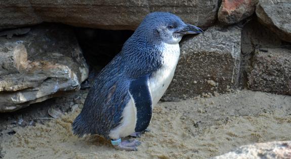 Blue penguin in Australia