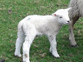 lamb in Peak District