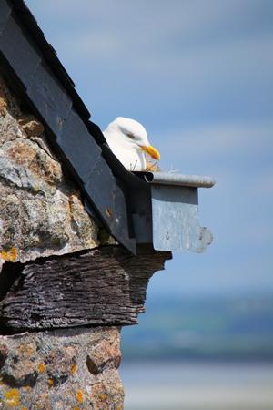 Nest on Mont Saint-Michel.